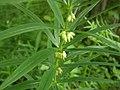 Polygonatum verticillatum plant.jpg