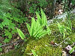 Polypodium virginianum 1-eheep (5097441847).jpg