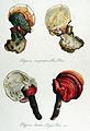 Polyporus lucidus — Flora Batava — Volume v14.jpg