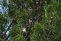 Pomatostomus superciliosus (32284540420).jpg