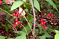 Pondberry1.jpg