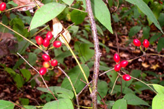 Lindera melissifolia - Image: Pondberry 1