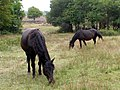 Ponies grazing near a ford across Bratley Water, New Forest - geograph.org.uk - 231351.jpg