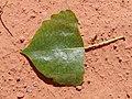 Populus fremontii spring leaf upper.jpg