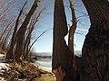 Populus trichocarpa mature trees half eaten by beaver.jpg