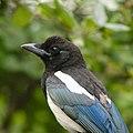 Portrait Of A Eurasian Magpie (42749840).jpeg