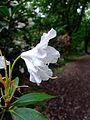 Průhonice, zámecký park, kvetoucí rododendron bílý II.jpg