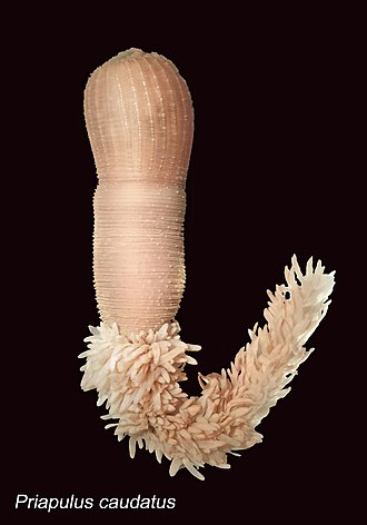 Protostome - Image: Priapulus caudatus 20150625