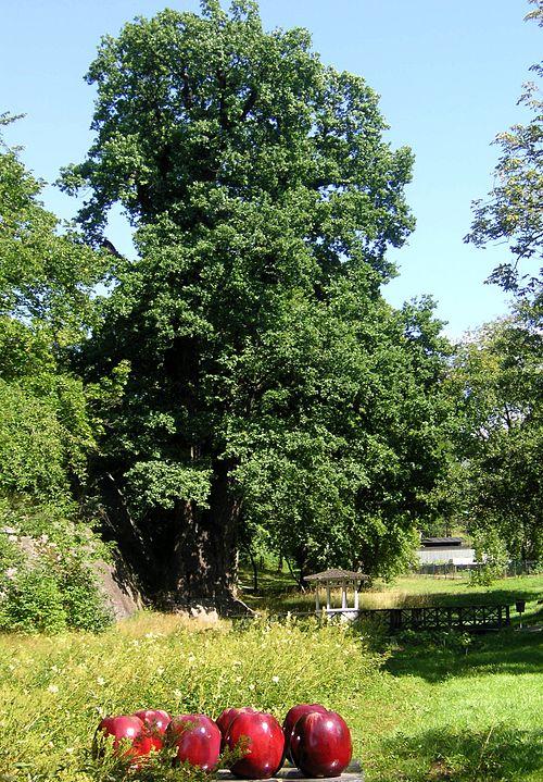 träd ringen dating äldsta
