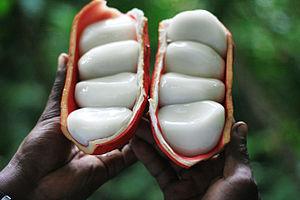 Cola (plant) - Cola pachycarpa K. Schum. or komngoei in basaa language (Tayap, Cameroon)