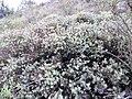 Protea sulphurea linkie iNat11243666a.jpg