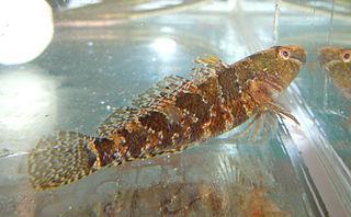 <i>Proterorhinus marmoratus</i> species of fish