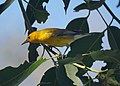 Prothonotary Warbler (15042467814).jpg