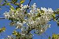 Prunus avium subsp. duracina Blüten 20150423 03.JPG