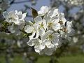 Prunus cerasus 1.jpg