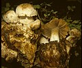 Psathyrella epimyces (Peck) A.H. Sm 73324.jpg