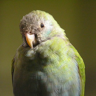 Hooded parrot - Female at Burgers' Zoo, Arnhem, Netherlands