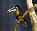 Pteroglossus beauharnaesii Parc des Oiseaux 21 10 2015 1.jpg