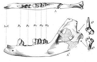 Ptolemaiida - Lower jaw of Ptolemaia lyonsi