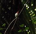 Puerto Rican Tody (Todus mexicanus) in El Yunque National Forest.jpg