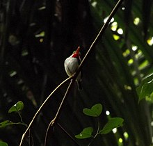 Puerto Rican Tody (Todus mexicanus) in El Yunque National Forest.jpg