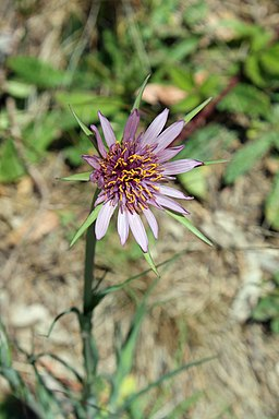 Purple Salsify - Stierch