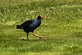 Purple Swamphen - New Zealand (38491860224).jpg