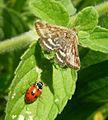 Pyraustra despicata - Flickr - gailhampshire (3).jpg