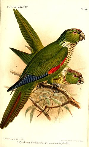 Pyrrhura - Maroon-tailed parakeet (in front), and black-capped parakeet (behind); illustration by Keulemans, 1891