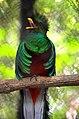 Quetzal en el zoológico de Tuxtla Gutiérrez.jpg