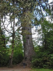 Quinault Lake Spruce, third largest in the world by volume