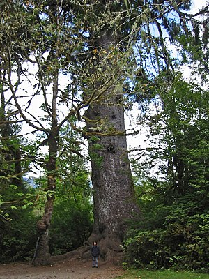 Picea sitchensis - Quinault Lake Spruce, the largest member of the species according to American Forest by points