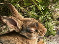 RabbitMyxomatoseHead.JPG