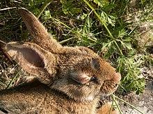 Un lapin malade à l'œil boursouflé