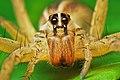 Rabidosa rabida female.jpg