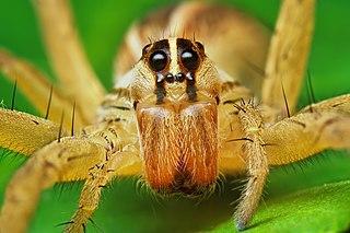 <i>Rabidosa rabida</i> species of arachnid