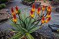 Rainbow lorikeet and Aloe sp Brisbane Botanic Gardens Mt Coot-tha IMGP3976.jpg
