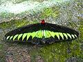 Rajah Brooke's Birdwing, male (8035174625).jpg