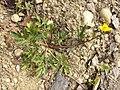 Ranunculus repens sl9.jpg