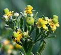 Ranunculus sceleratus Rakivka.jpg