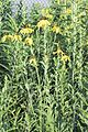 Ratibida pinnata YELLOW CONEFLOWER (4626305345).jpg