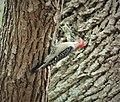 Red-bellied Woodpecker. Melanerpes carolinus (24609553028).jpg