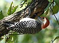 Red-bellied Woodpecker (45208847911).jpg