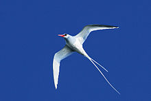 Red-billed-Tropicbird-ventral.jpg