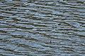 Red-necked Phalarope Rodeo Lagoon Marin CA 2018-09-20 11-44-39 (45644756562).jpg