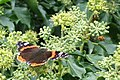 Red Admiral and bee enjoying September sunshine - geograph.org.uk - 976278.jpg