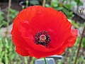 Red Corn Poppy - Flickr - Swallowtail Garden Seeds.jpg