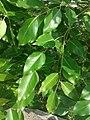 Red Sandal - Leaves-1.jpg