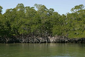 Ten Thousand Islands National Wildlife Refuge - Image: Red mangrove trees at water edge
