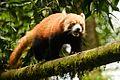 Red panda ramp walk.jpg